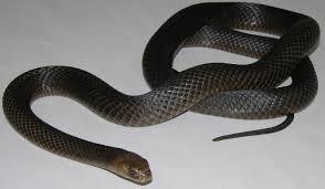 Dangerous Snakes Of The Lakes Area And Fleurieu Peninsula