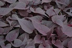 purple sweet potato plant. Unique Purple Sweetheart Purple Sweet Potato Vine Ipomoea Batatas U0027Sweetheart Purpleu0027  At Shelmerdine Garden To Plant A