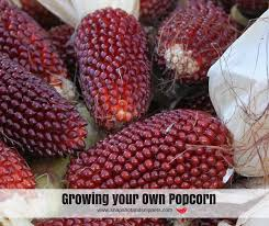 Growing Popcorn Growing Your Own Popcorn Snapshots And Snippets