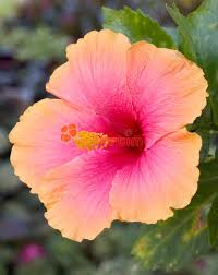 hibiscus flowers hibiscus flower stock photo image of closeup plant pretty 91346