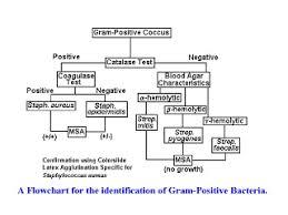 Streptococcus Identification Chart Gram Negative