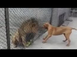 pitbull dog vs lion. Exellent Pitbull For Pitbull Dog Vs Lion H