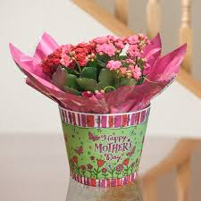 flowering succulent plant kalanchoe mother s day gift plant
