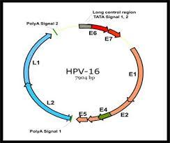 Реферат ДНК геномные вирусы Вирус папилломы и полиомы человека  Реферат ДНК геномные вирусы Вирус папилломы и полиомы человека