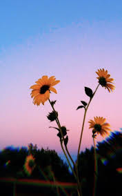 Clouds Sunflower Aesthetic Wallpapers ...