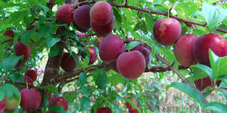 How To Prune Fruit Trees Avocado Apple Nectarine Plum Can You Prune Fruit Trees In The Summer