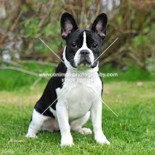 black and white french bulldog. Fine French French Bulldog Showing NON Standard Black And White Colour Since The New  Color Change By With Black And White French Bulldog L