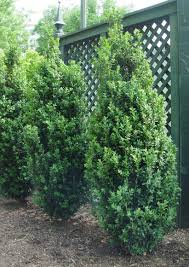 Dee Runk Boxwood. 8-10 ft tall x 2-3 ft wide.