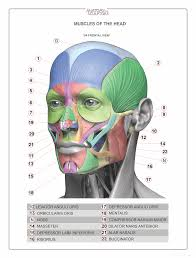face anatomy anatomia da face anatomy humanz pinterest anatomy muscles and