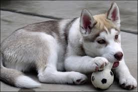 How Much Should I Feed My Siberian Husky Puppy
