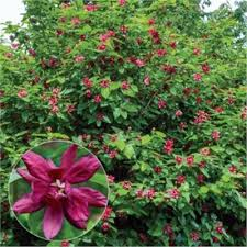 Image result for sweet shrub