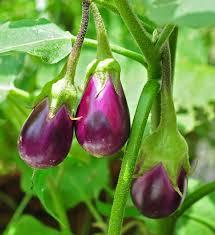 Eggplant - Wikipedia