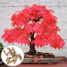 egrow <b>10pcs red</b> maple seeds garden bonsai beautiful indoor ...