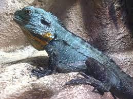 Gippsland Water Dragon (male ...