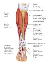 Muscles Of The Lower Leg Diagram Muscles Of The Lower Leg