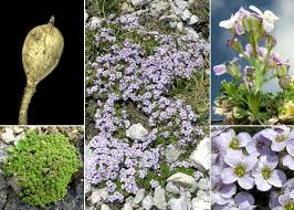 Petrocallis pyrenaica (L.) R.Br. - Portale sulla flora del Parco ...