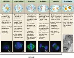 phases of mitosis. image phases of mitosis h