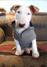 miniature bull terrier mix. Delighful Mix Danko Bull Terrier On Throughout Miniature Mix I