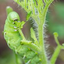 garden pesticides. With The Right Organic Pesticides, You Can Stop Tomato Hornworms Like This Dead In Their Tracks. Photo By IStock/BackyardProduction Garden Pesticides