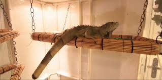 how to set up an iguana cage small pets you