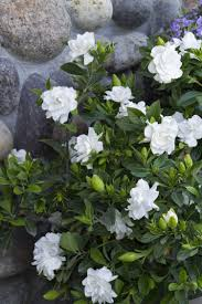 everblooming gardenia highly prized for a profusion of sweetly fragrant white blooms that serve as excellent cut flowers a beautiful specimen with upright