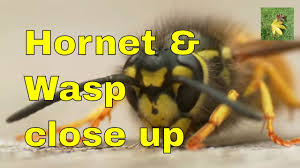 Uk Wildlife Wasp And Hornet Identification Comparison