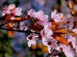 Картинки по запросу sakuras ziedi