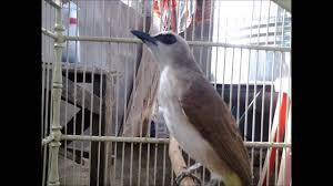 Kutilang merupakan salah satu jenis burung kicau bermental baik atau bisa juga dikenal sebagai burung petarung yang memiliki panjang tubuh sekitar 17 20 cm. Gambar Kicau Burung Trucukan Ropel Download Www Bursaburung Web Id Youtube Di Rebanas Rebanas