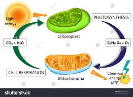 Chloroplast Mitochondria Venn Diagram Venn Diagram Comparing Photosynthesis And Cellular Respiration 62