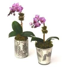 all the glamour and expensive look of blooming phalaenopsis orchid plants now in a smaller size