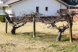 Building a Simple Grape Arbor