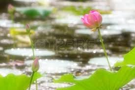 beautiful flowerses nelumbo nucifera on the water surface stock photo 21936229