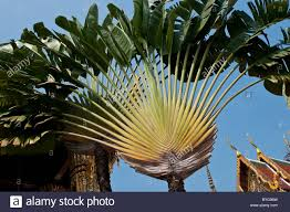fan palm. fan palm tree, wat phra kaeo, grand palace, bangkok, thailand