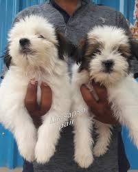 """dogzadda on Twitter: """"Lhasa apso puppies are available for sale in  Hyderabad. If you are interested please contact us : 9949590659 Visit us :  https://t.co/vWz2bg1jiO #dogzadda #Lhasaapso #Hyderabad #Lhasaapsopuppies  #availableforsale #puppies #dogs #"""