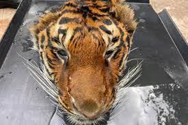 Tayland'da hayvanat bahçesinde kesilmiş kaplan kafası bulundu - Kıbrıs  Objektif