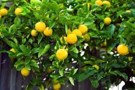 Lemon Farming Lemon Farming Information