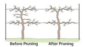 How To Prune Grapes Adnanali Co