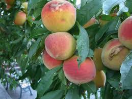 Risultati immagini per alberi carichi di frutta carnosa e rossa immagini belle