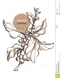 Branch Template Vector Sketch Of Coffee Branch Template Stock Vector