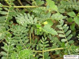 essay on medicinal plants list of important medicinal plants uses of medicinal