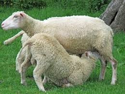 Sheep has sex with woman