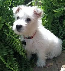west highland white terrier maltese mix. Fine Maltese Archie A West Highland White Terrier Puppy Throughout Maltese Mix I