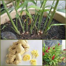 Balcony Kitchen Garden Urban Vegetable Garden For Small Spaces Balconies Byzantineflowers