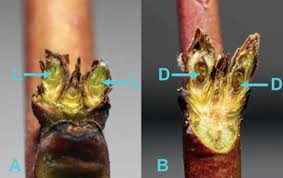 Evaluating Tree Fruit Bud Fruit Damage From Cold