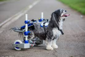 puffy had previously used a diy wheelchair made of plastic plumbing cart wheels and a