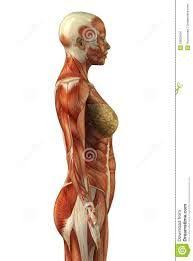 Image Result For Muscular System Anatomical Chart Hd Art