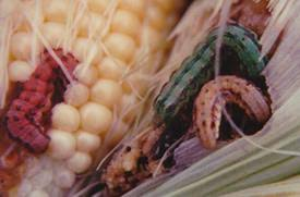 Corn Earworm Control Corn Earworm Alert Southern Minnesota Minnesota