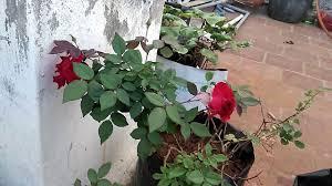 rose plant organic terrace gardening tamil