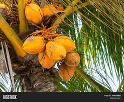 Coconuts Palm Tree Ripe Yellow Orange Stock Photo 83550613 Palm Tree Orange Fruit