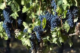g vines